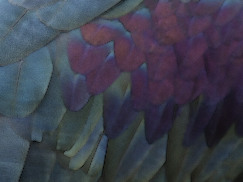 Northern Bald Ibis Feathers