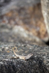 Northern Curly-tailed Lizard at the Morikami