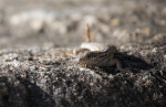 Northern Curly-tailed Lizard Crouching