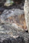 Northern Curly-tailed Lizard on Rocks