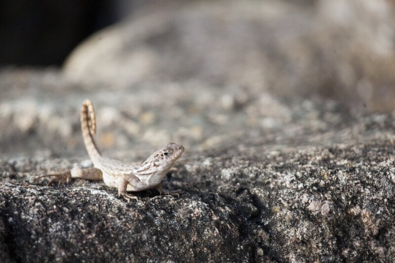Northern Curly-tailed Lizard Standing