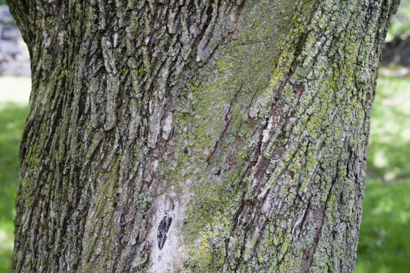 Norway Maple Crimson King Bark With Moss ClipPix ETC - Norway maple crimson king