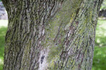 """Norway Maple """"Crimson King"""" Bark with Moss"""