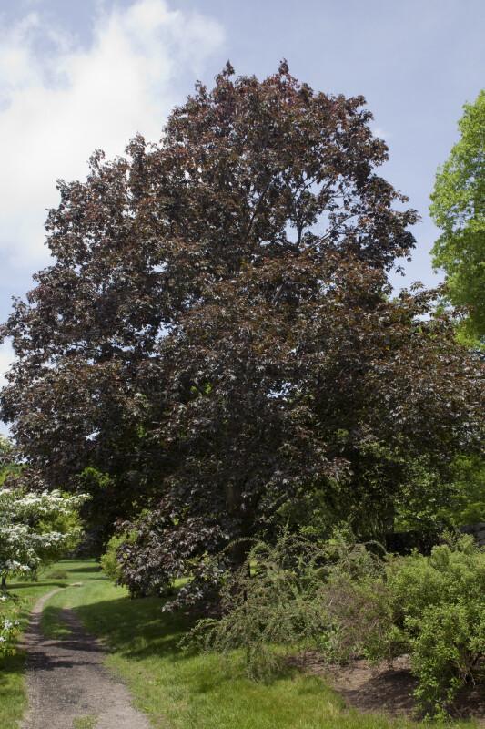 """Norway Maple """"Crimson King"""" Tree"""