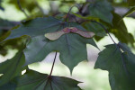 Norway Maple Leaf and Samara