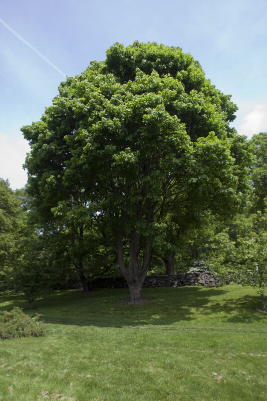 "Norway Maple Tree ""Cleveland"""