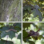 Norway Maple Trees photographs