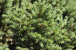 Norway Spruce Detail