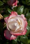"""Nostalgie"" Tantau Rose"