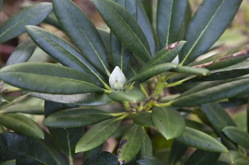 """""""Noyo Snow"""" Rhododendron"""
