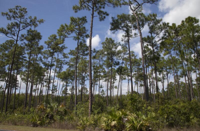 Number of Slash Pines Growing Amongst Shrubs