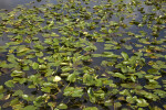 Numerous Aquatic Plants at Anhinga Trail of Everglades National Park