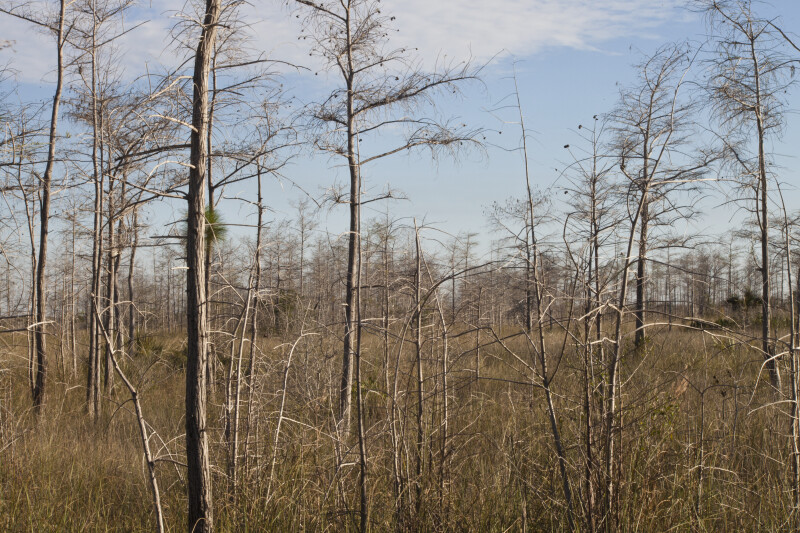 Numerous Bare Dwarf Bald Cypress Trees