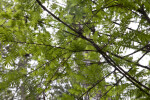 Numerous Branches and Leaves of Bald Cypress Tree