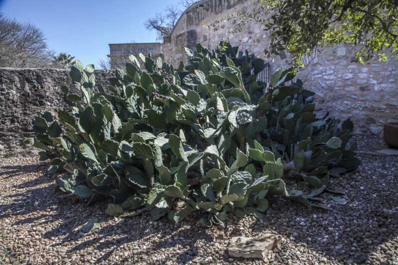 Numerous Cacti in the Convento Courtyard of the Alamo Mission