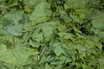 Numerous Grape Leaves