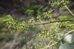 Numerous Green Flower Buds