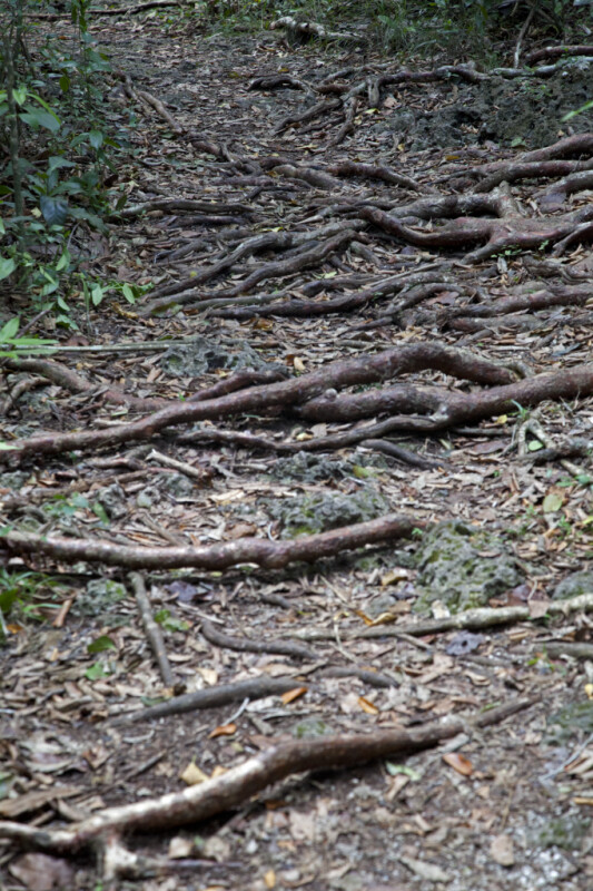 Numerous Gumbo-Limbo Roots Covering a Path