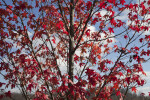 Numerous Leaves on a Red Maple Tree