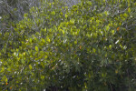 Numerous Mangrove Leaves