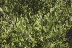 Numerous Mangrove Leaves