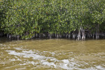 Numerous Mangroves Growing in Brown Saltwater at West Lake of Everglades National Park