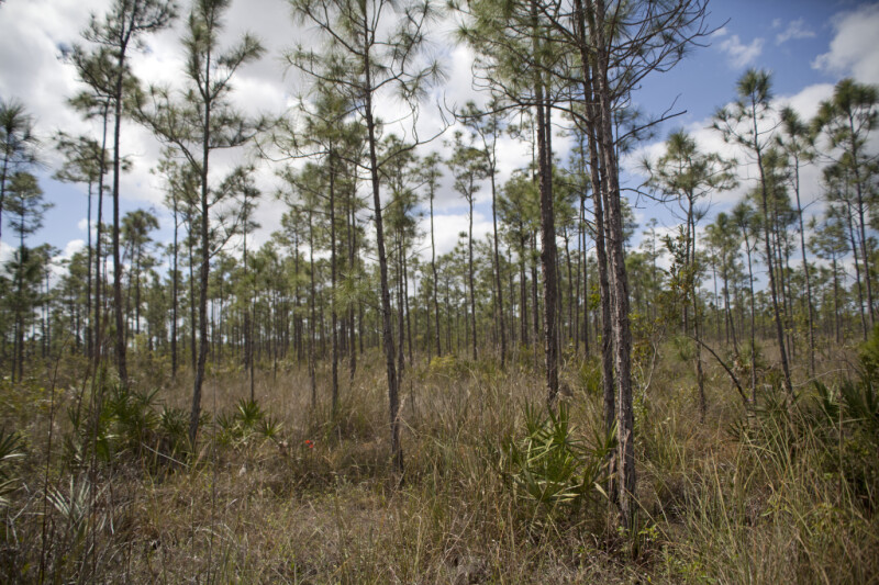 Numerous Pine Trees Growing in a Field at Long Pine Key of Everglades National Park
