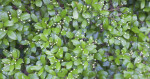 Numerous Shiny Green Leaves and Tiny White Flower Buds of a Shrub