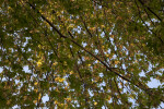 Numerous Silver Maple Branches