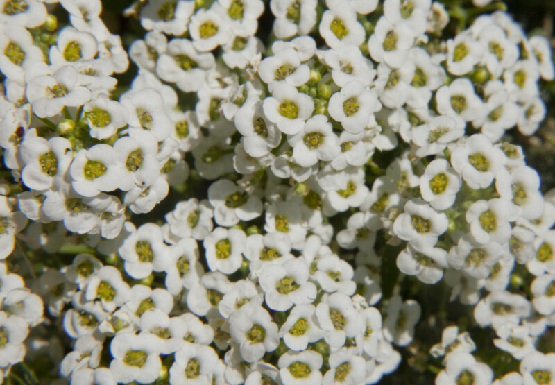 Numerous, Tiny White Flowers with Yellow Stamens