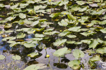Numerous Water Lilies at Shark Valley of Everglades National Park