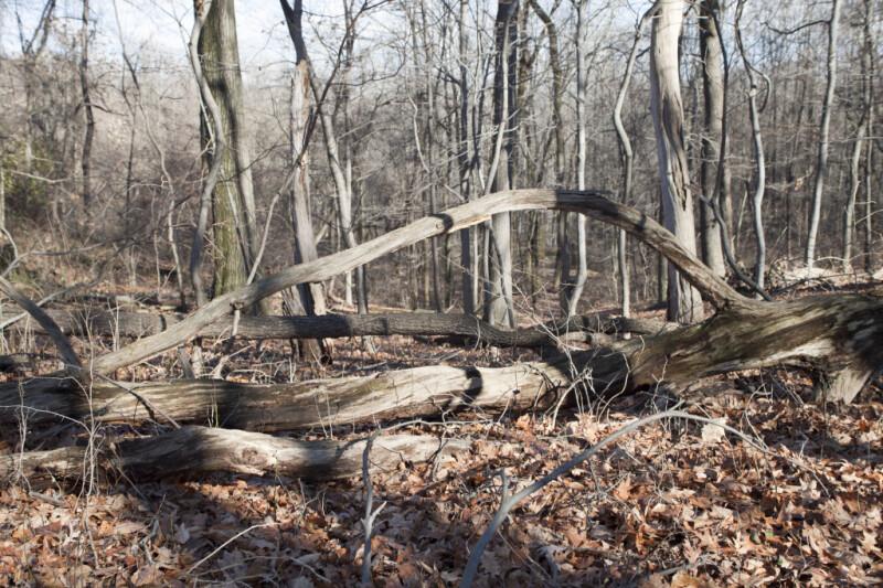 Nursery Logs Surrounded by Fallen Leaves