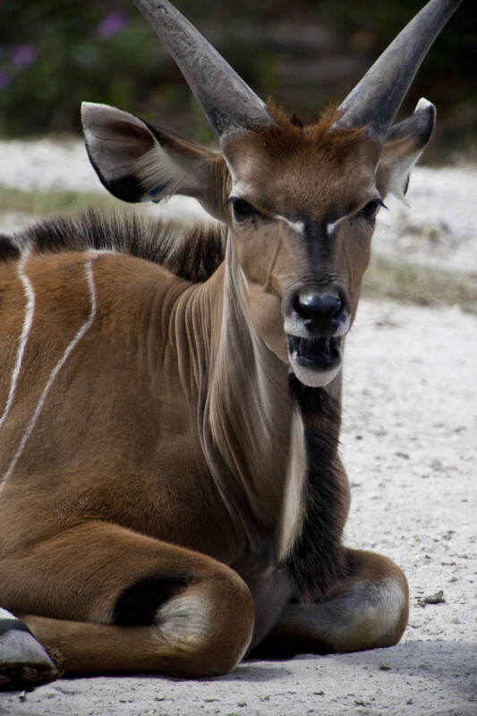 Nyala on Ground