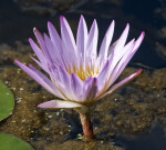 Nymphaea Colorata Flower