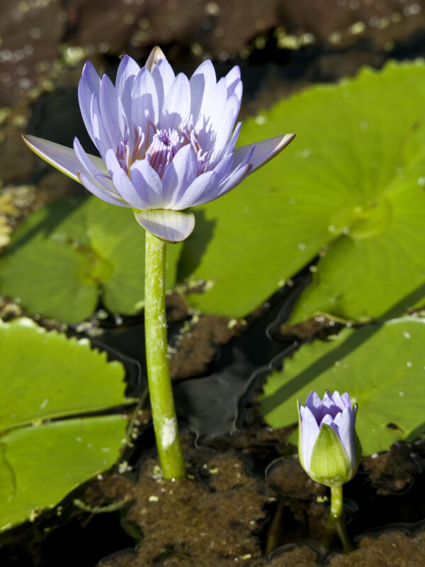 Nymphaea Colorata Flowers
