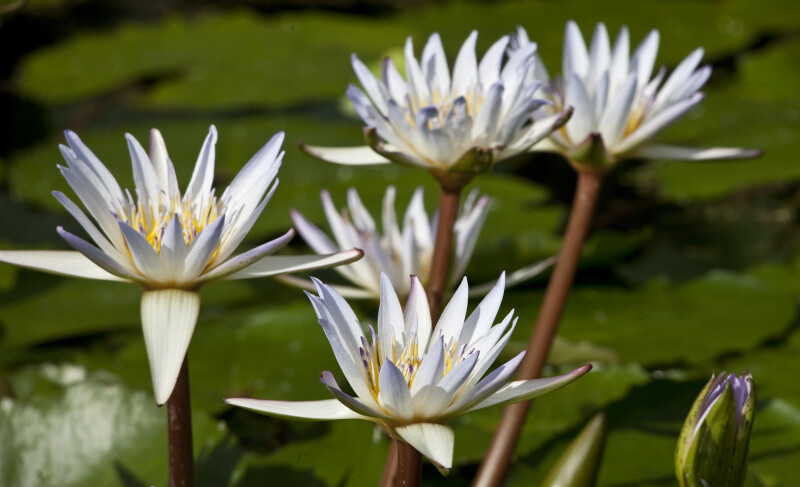 Nymphaea x Daubenyana Flowers