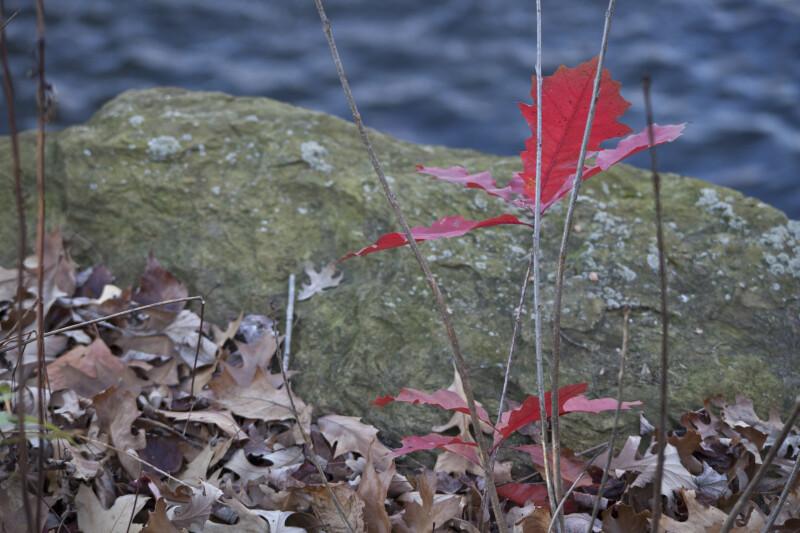 Oak by Water