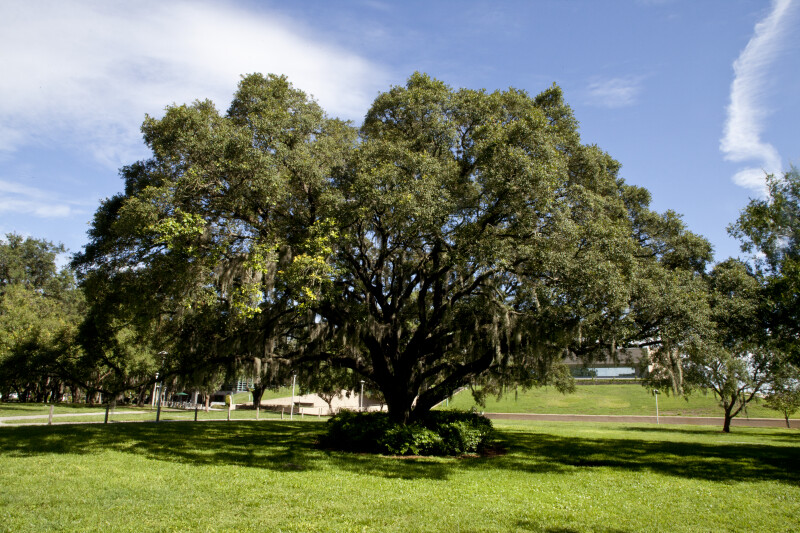 Oak Tree at the University of South Florida