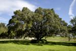 Oak Tree at the University of South Florida