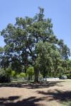 Oak Tree Casting a Shadow