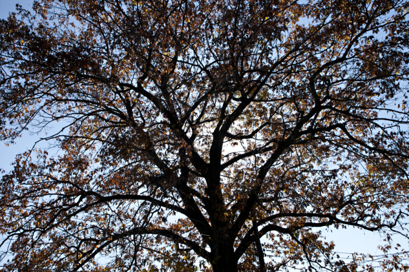 Oak Tree During Fall at Evergreen Park