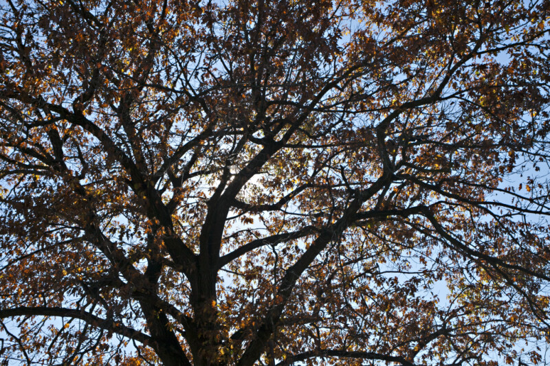 Oak Tree with Many Branches