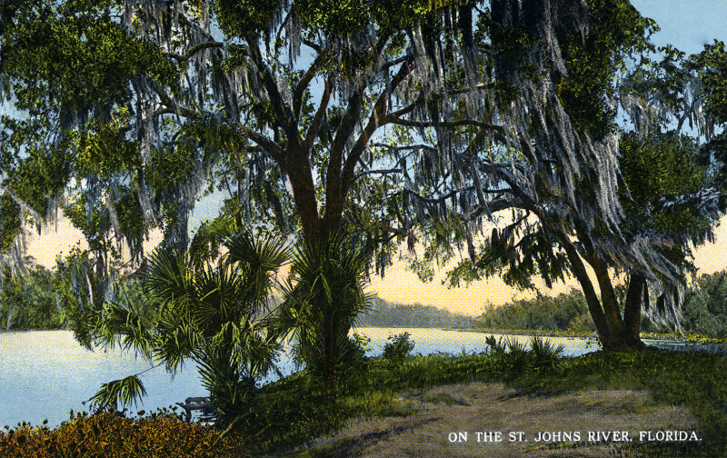 Oak Trees on the St. Johns River