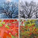 Oak Trees photographs