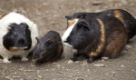Obese Guinea Pigs