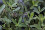 Oblongleaf Twinflower Leaves