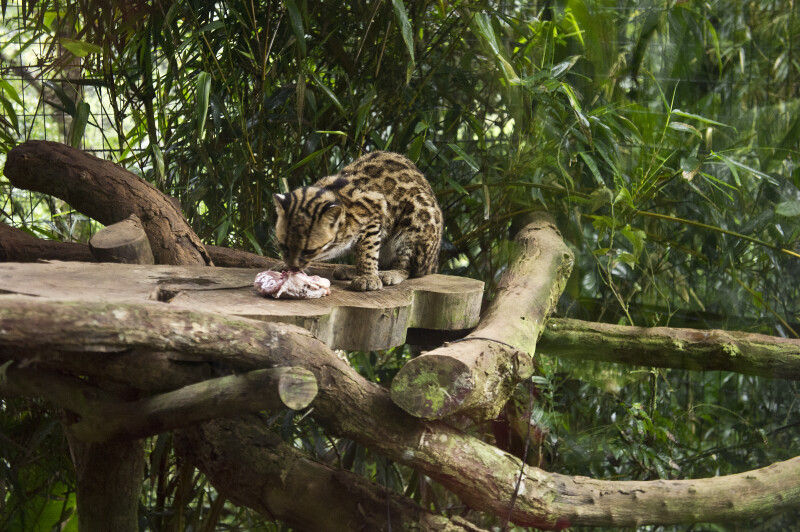 ocelot eating raw meat an ocelot eating raw meat at la paz waterfall    Ocelots Eating