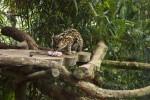 Ocelot Eating Raw Meat