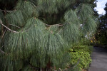 Ocote Pine Branches