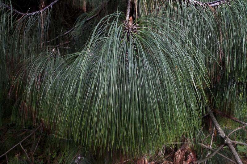 Ocote Pine Needles
